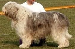 Standard1 for Cane da pastore della russia meridionale